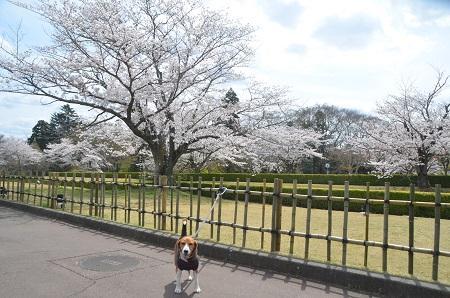20140402佐倉城址公園33