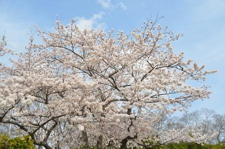 20140402佐倉城址公園37
