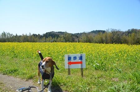 20140407菜の花と小湊電鉄07
