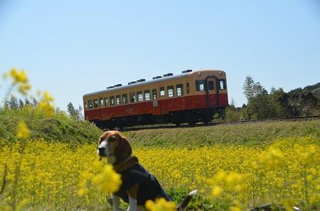 20140407菜の花と小湊電鉄14