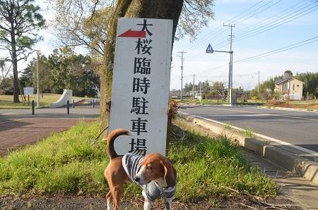 20140411吉高の大桜03
