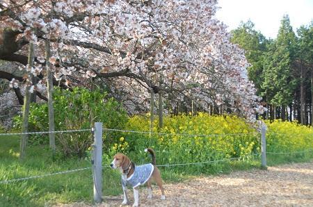20140411吉高の大桜12