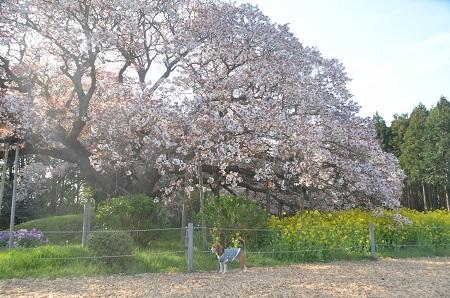 20140411吉高の大桜11