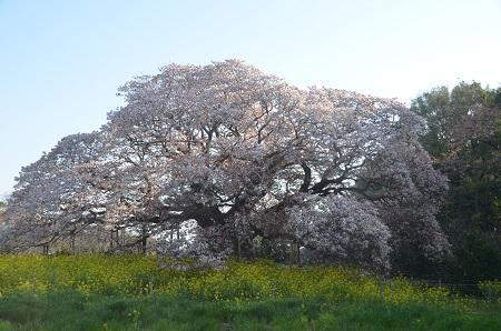 20140411吉高の大桜09