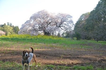 20140411吉高の大桜10