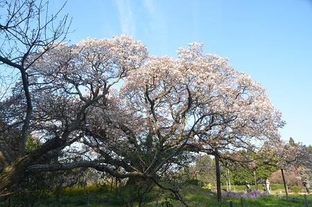 20140411吉高の大桜19