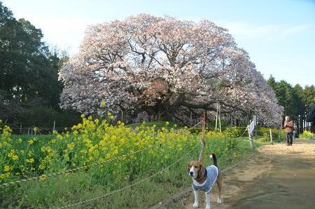 20140411吉高の大桜16