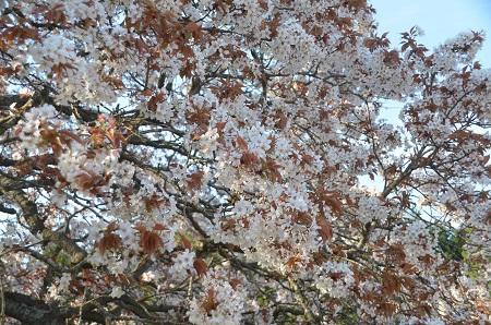 20140411吉高の大桜13