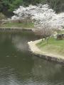 ikesakura.png