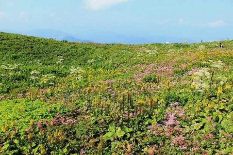 伊吹山頂上付近の高山植物お花畑