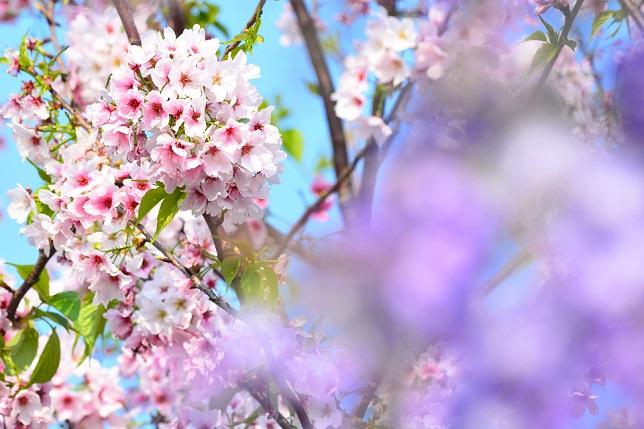 桜と藤(3)