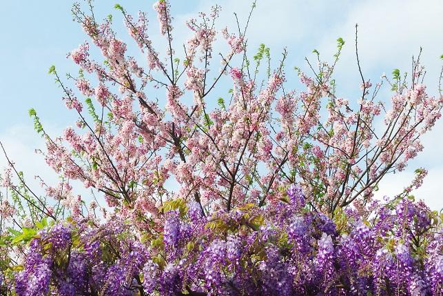 桜と藤(1)
