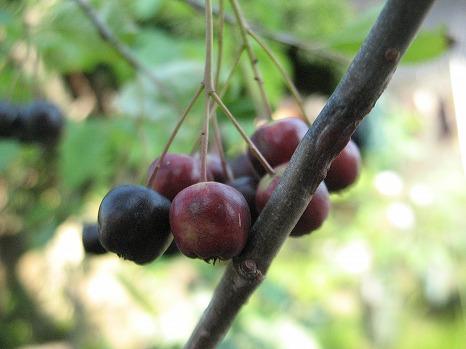 チョコベリー (2)