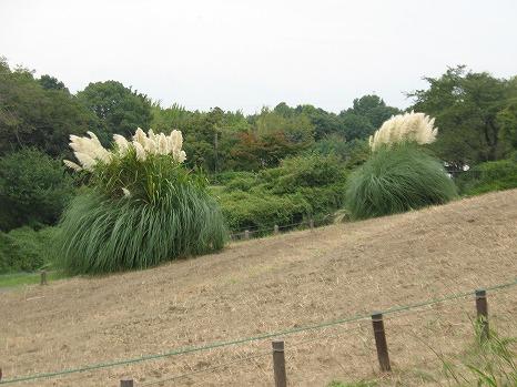 昭和記念公園・パンパスグラス (1)