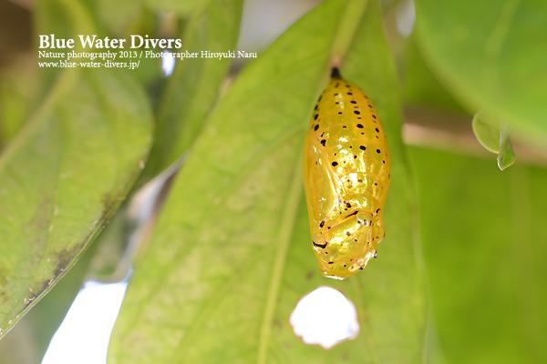 オオゴマダラの蛹