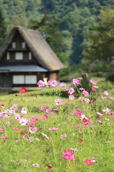 gokayama de kosumosu (5)