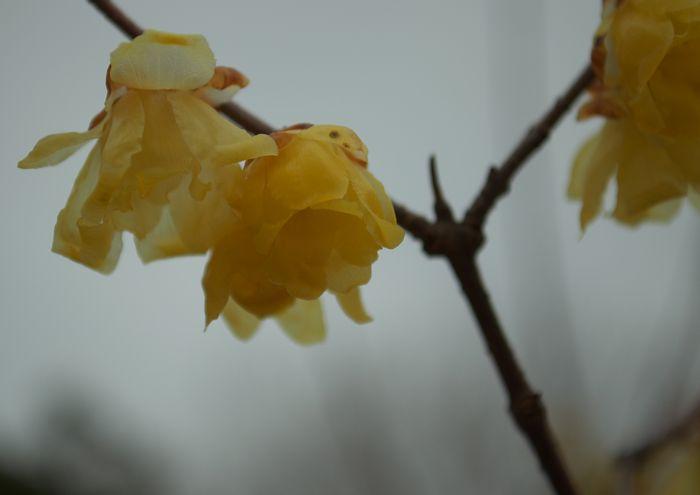 14-2-19-1 138タワー内のロウバイの花