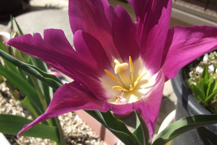 14-4-8-1自宅の庭で咲いたチューリップ
