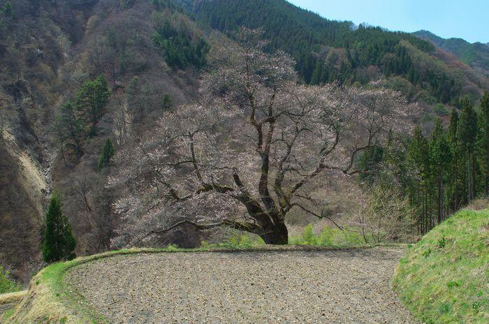 駒つなぎの桜DSC_0135-14-4-12-1