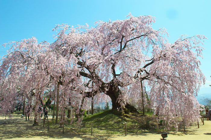 14-4-12-2麻積の桜DSC_0012