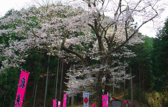 14-4-13-4嶽見桜(下呂)DSC_0008