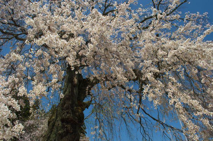14-4-13-3瑠璃寺のしだれ桜DSC_0071