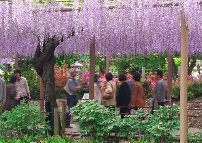 14-5-1-1曼陀羅寺のふじ祭り