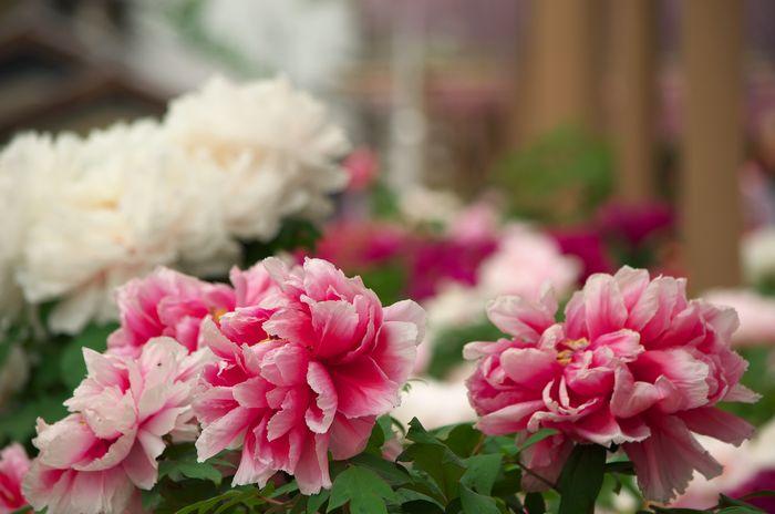 14-5-1-9ぼたんの花