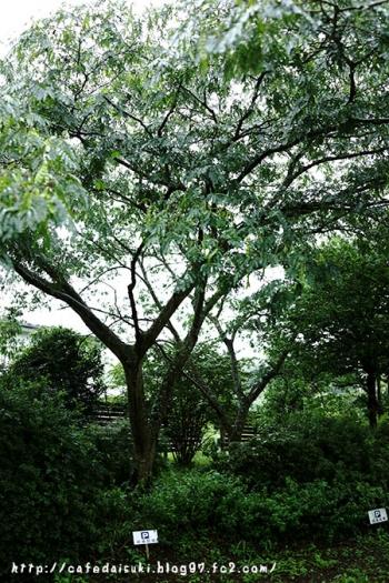 シルクツリーカフェ◇庭のねむの木
