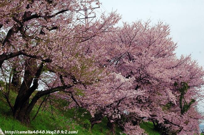 0407sakura-2.jpg