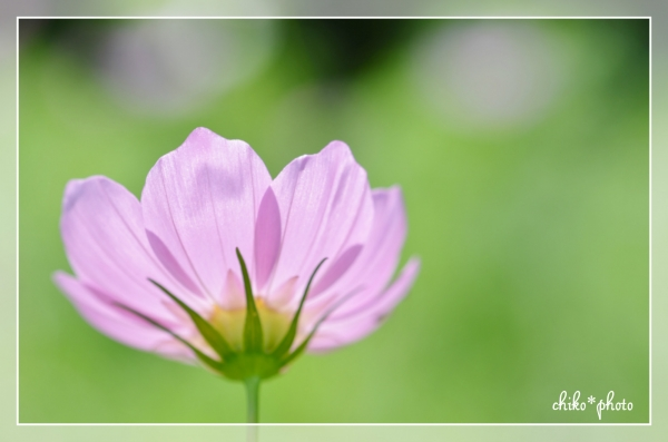 photo-527 逆光のコスモス_2_1
