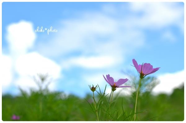 photo-528 コスモスの咲く丘にて1
