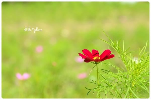 photo-529 コスモスの咲く丘2