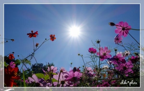 photo-546 太陽とコスモス1