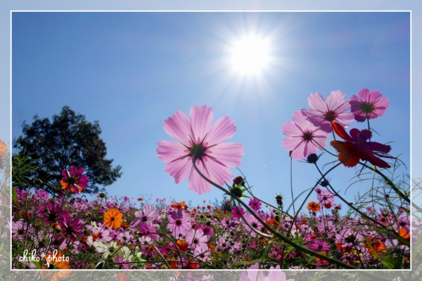 photo-549 太陽とコスモス4