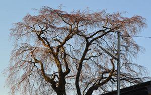 006しだれ桜てっ辺