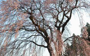 001お宮しだれ桜