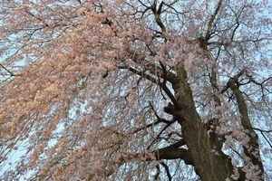 005満開しだれ桜
