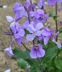 031紫花