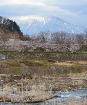 013堤防桜
