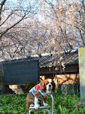 009しだれ桜