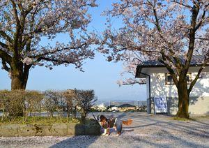 003公園桜
