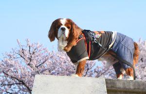 027公園桜