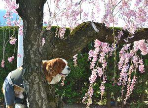 020しだれ桜