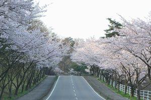 001桜並木