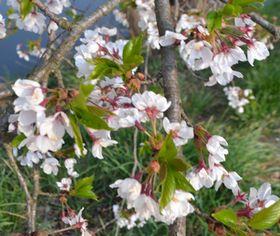 006葉桜
