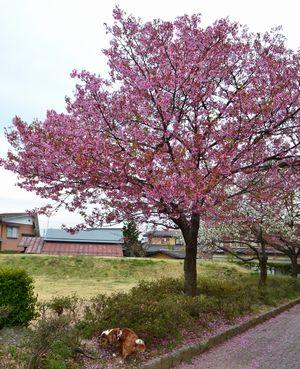005北公園桜