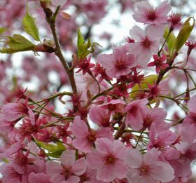 009葉桜ピンク
