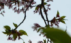 016葉桜うすピンク