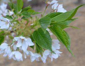 017葉桜白
